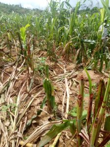 Heart Breaking as Suspected Fulani Mowed Down Crops in Plateau Community