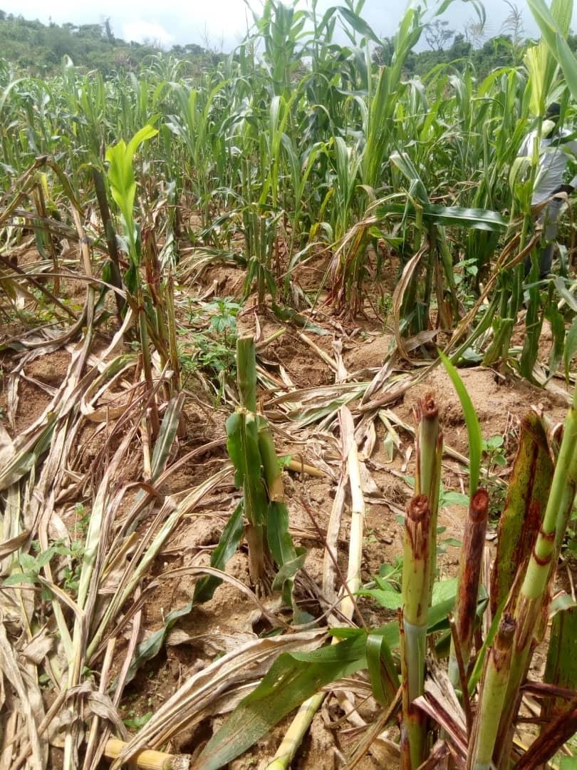 Heart Breaking as Suspected Fulani Mowed Down Crops in Plateau Community
