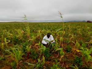EMINENT HUNGER CONTINUES LOOMING UP AS MISCHIEF ON FARMED CROPS INCREASES