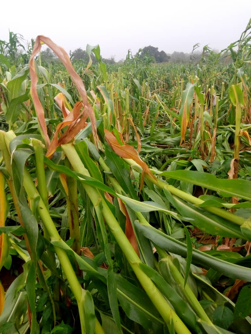 Willful Destruction of Farms Escalates as Suspected Fulani Mowed Down Crops in Plateau State