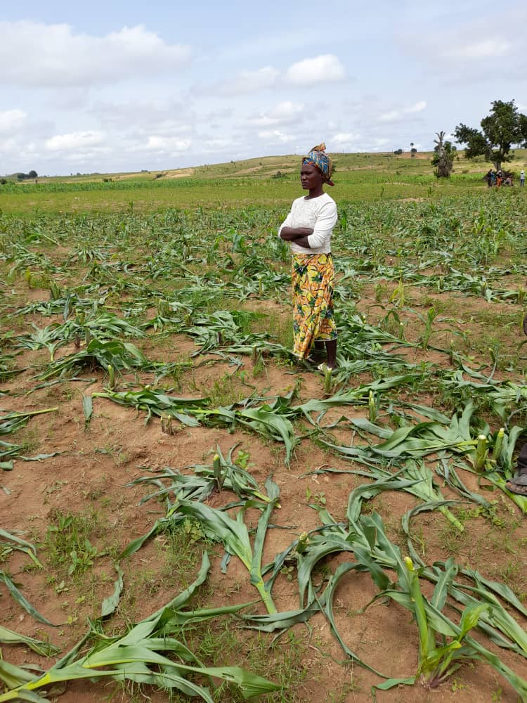 MASSIVE FARMED CROPS MOWED IN PLATEAU STATE